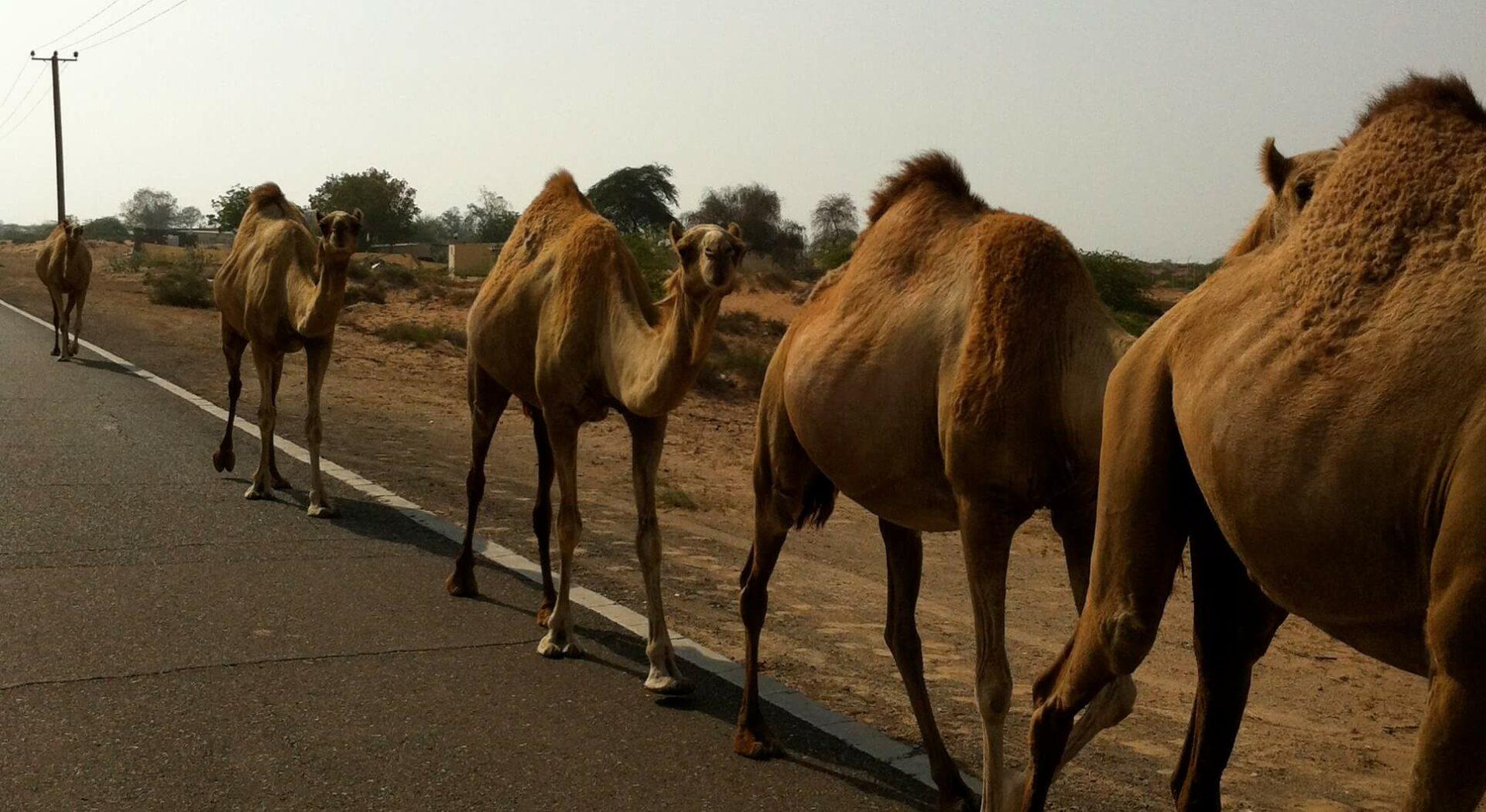 Elgtråkk på vei til Dubai