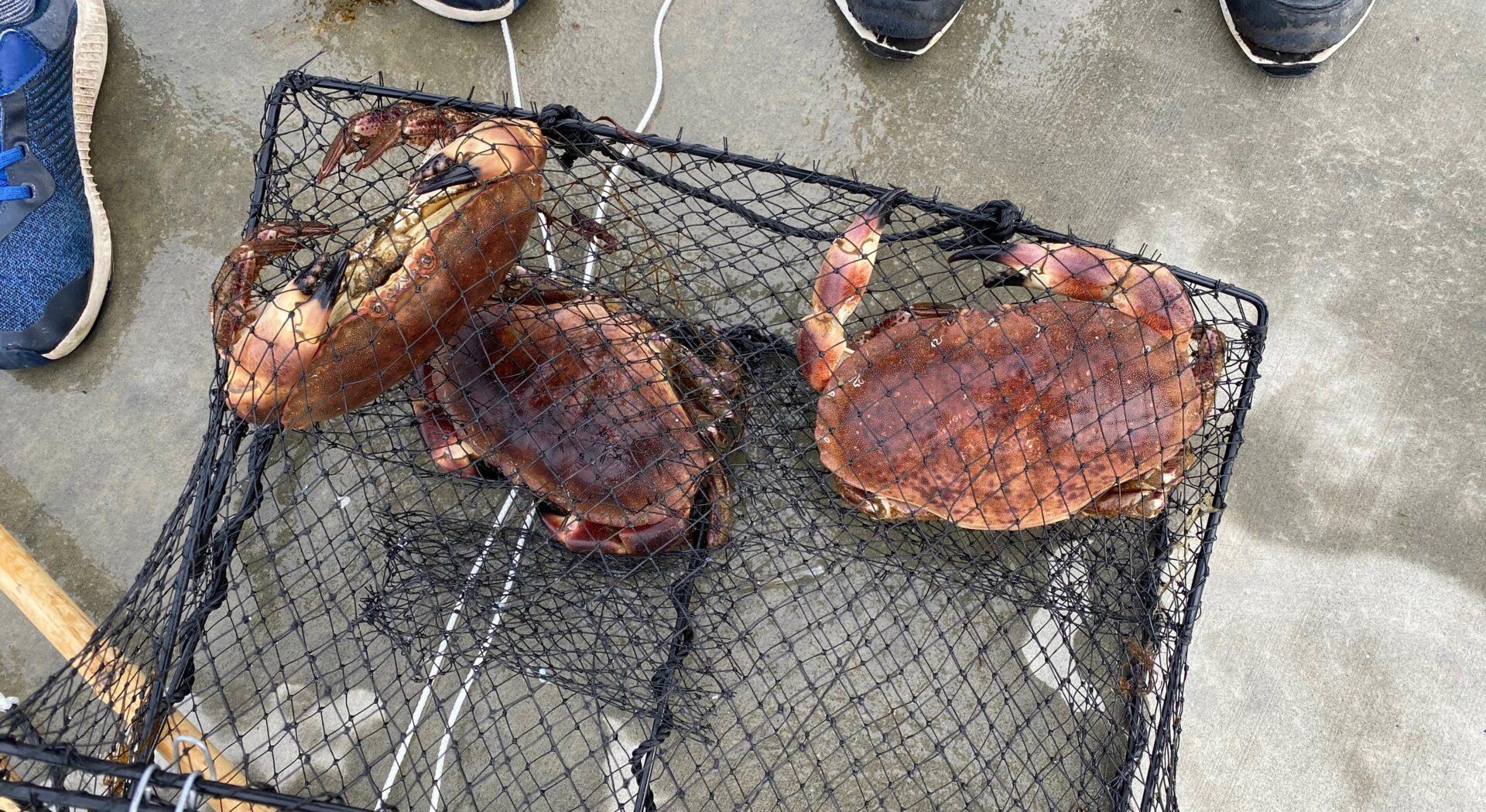 Krabber i Bekkjarvik