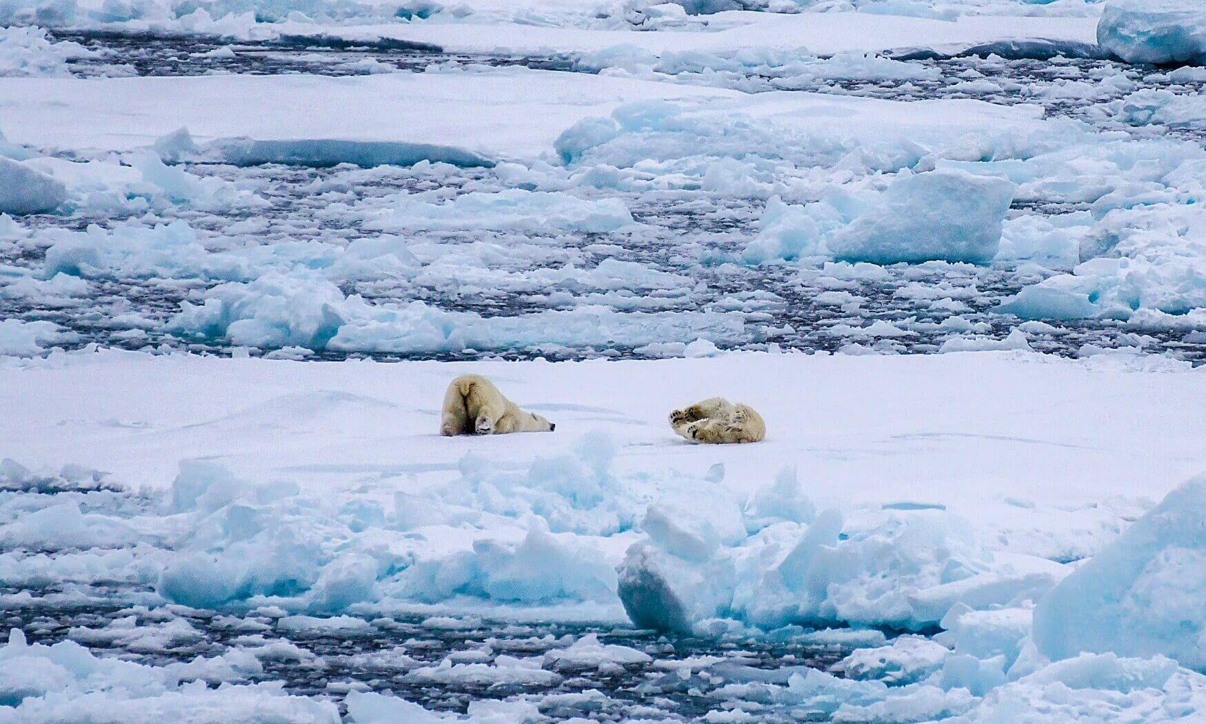 Ville vi unnslippe Bellotsundet med fulltallig mannskap¿! Heldigvis nöyde verdens störste rovdyr seg med å leke i snöen. Kilde; Edwards & Charody
