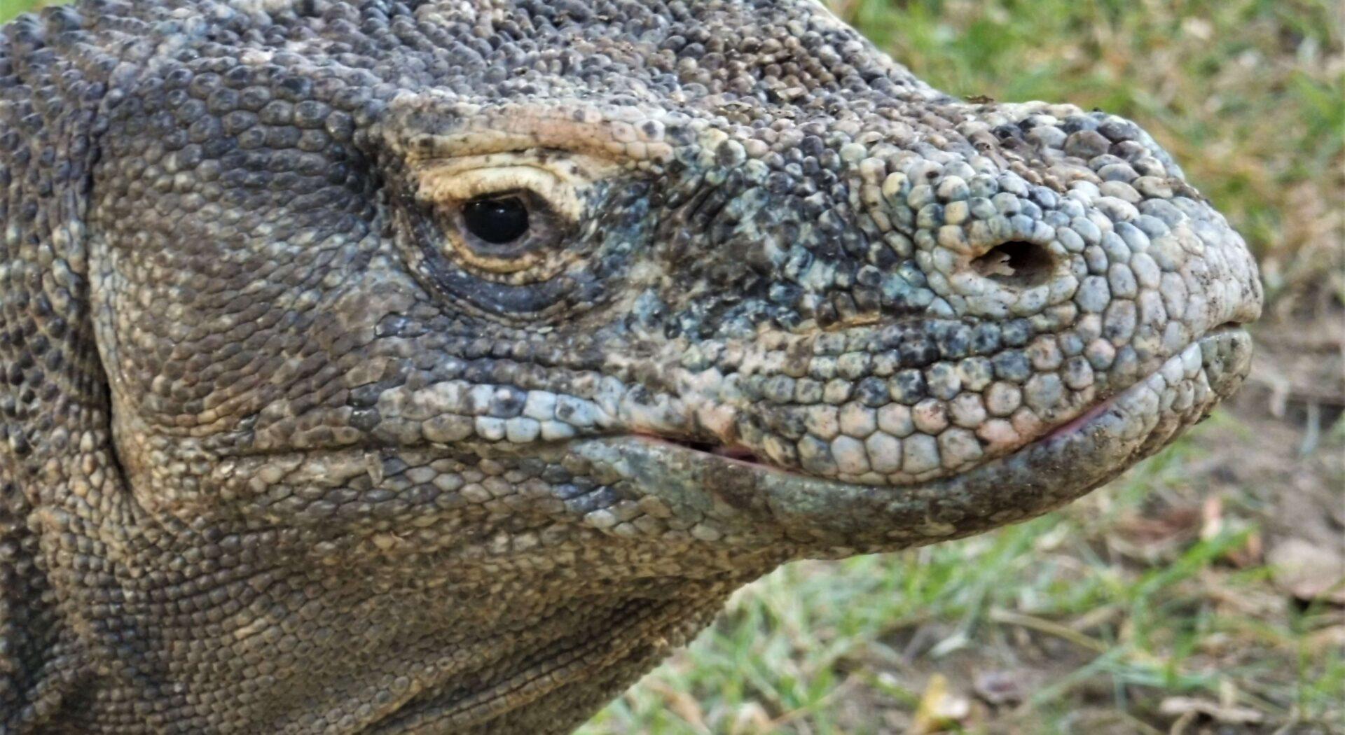 En gjenlevning fra dinosaurenes tidʔ De karakteristiske komododragene finnes bare ett sted på hele kloden.